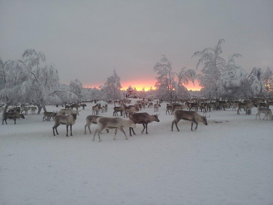 """Iisko-Matti Näkkäläjärvi voitti Uuden Inarin leikkimielisen kaamos""""valo""""kuvakisan upealla porokuvallaan. Kuvassa raatia sykähdyttivät värit ja harras talven tunnelma. Kirjoitimme kuvan innoittamana sadun."""